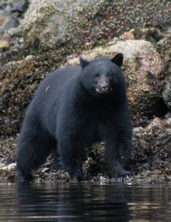Bear wandering down river bank